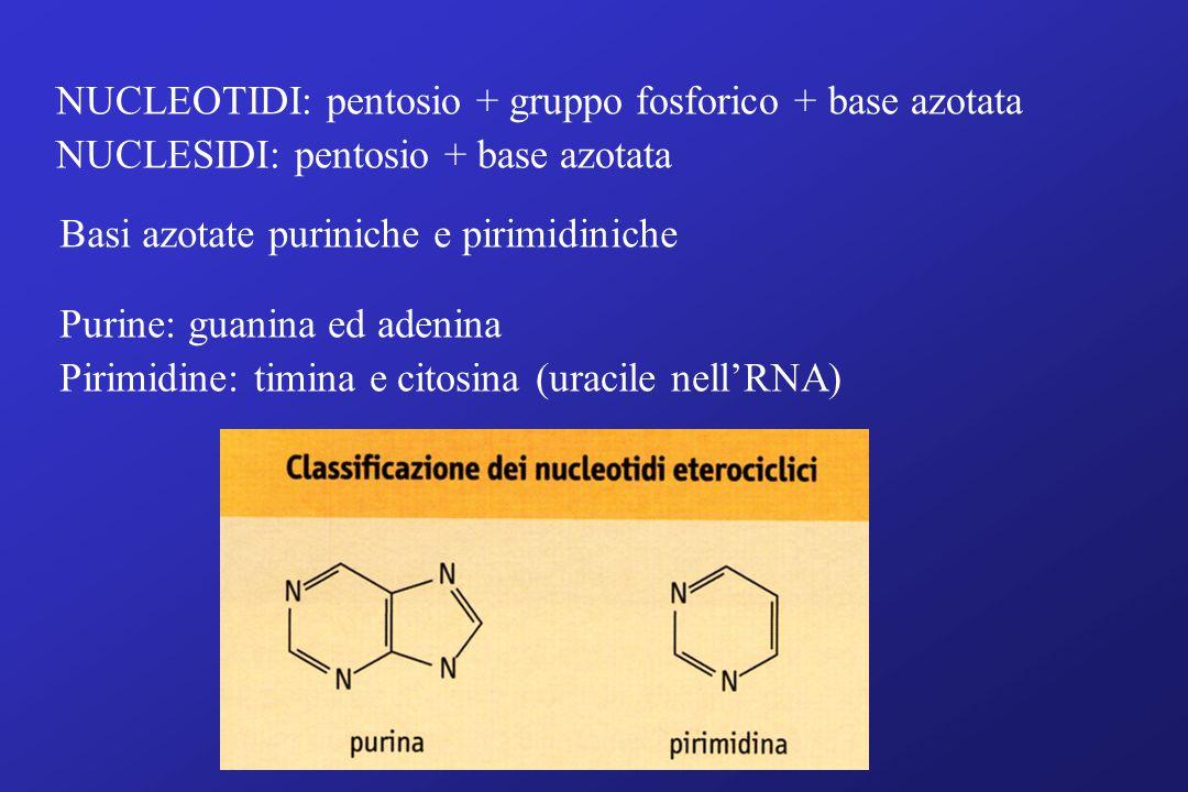 NUCLEOTIDI: pentosio + gruppo fosforico + base azotata NUCLESIDI: pentosio + base azotata Basi azotate puriniche e pirimidiniche Purine: guanina ed adenina Pirimidine: timina e citosina (uracile nell'RNA)