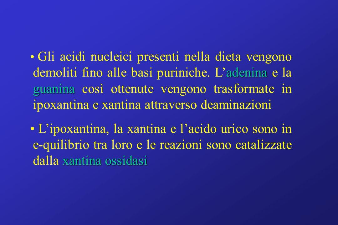 adenina guanina Gli acidi nucleici presenti nella dieta vengono demoliti fino alle basi puriniche. L'adenina e la guanina così ottenute vengono trasfo