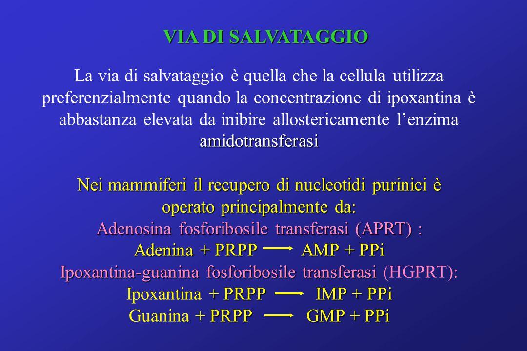 VIA DI SALVATAGGIO La via di salvataggio è quella che la cellula utilizza amidotransferasi preferenzialmente quando la concentrazione di ipoxantina è abbastanza elevata da inibire allostericamente l'enzima amidotransferasi Nei mammiferi il recupero di nucleotidi purinici è operato principalmente da: Adenosina fosforibosile transferasi (APRT) : Adenina + PRPP AMP + PPi Ipoxantina-guanina fosforibosile transferasi Ipoxantina-guanina fosforibosile transferasi (HGPRT): + PRPP IMP + PPi Ipoxantina + PRPP IMP + PPi + PRPP GMP + PPi Guanina + PRPP GMP + PPi
