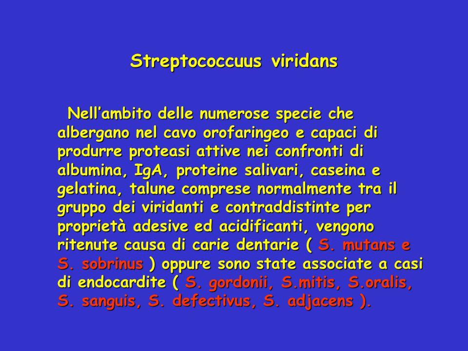 Streptococcuus viridans Nell'ambito delle numerose specie che albergano nel cavo orofaringeo e capaci di produrre proteasi attive nei confronti di alb