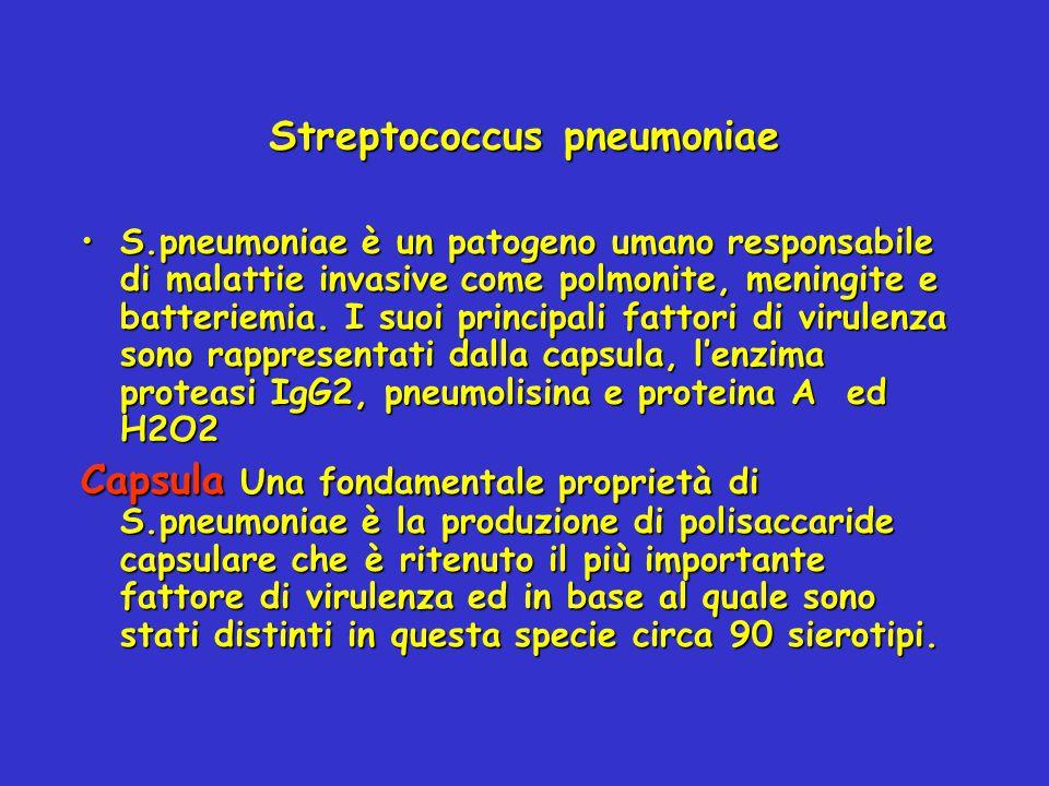 Streptococcus pneumoniae S.pneumoniae è un patogeno umano responsabile di malattie invasive come polmonite, meningite e batteriemia. I suoi principali