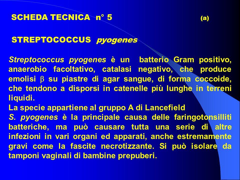 SCHEDA TECNICA n° 5 (a) STREPTOCOCCUS pyogenes Streptococcus pyogenes è un batterio Gram positivo, anaerobio facoltativo, catalasi negativo, che produce emolisi  su piastre di agar sangue, di forma coccoide, che tendono a disporsi in catenelle più lunghe in terreni liquidi.