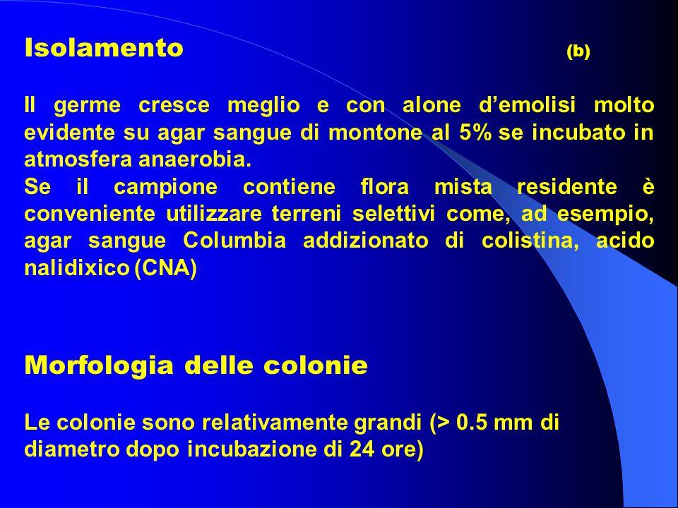 Isolamento (b) Il germe cresce meglio e con alone d'emolisi molto evidente su agar sangue di montone al 5% se incubato in atmosfera anaerobia. Se il c