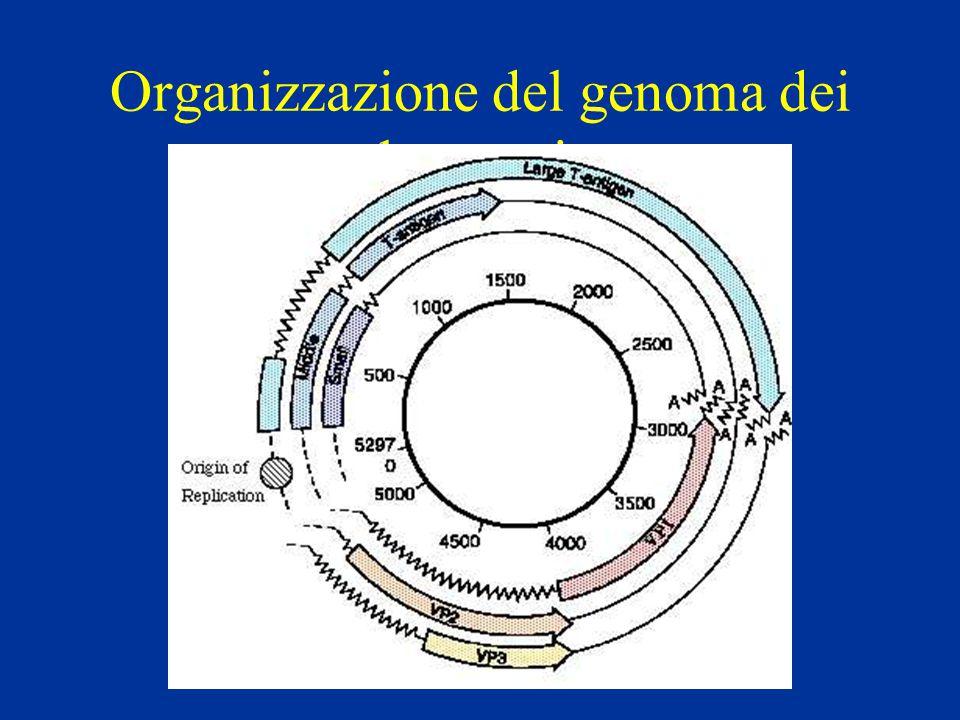 Organizzazione del genoma dei polyomavirus