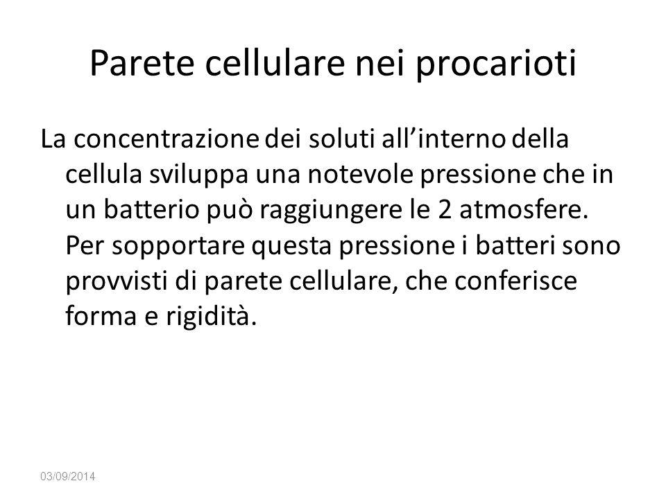 Parete cellulare nei procarioti La concentrazione dei soluti all'interno della cellula sviluppa una notevole pressione che in un batterio può raggiung