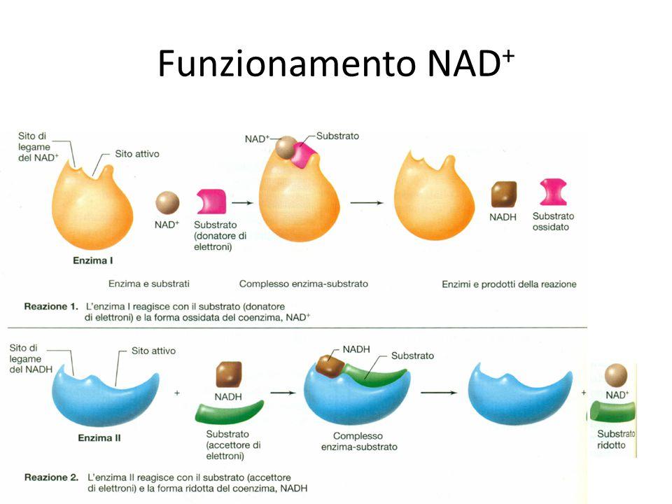 Funzionamento NAD + 03/09/2014