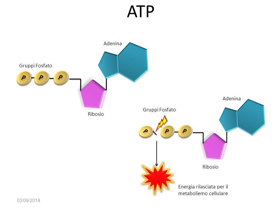 ATP 03/09/2014 Energia rilasciata per il metaboliemo cellulare Gruppi Fosfato Ribosio Adenina