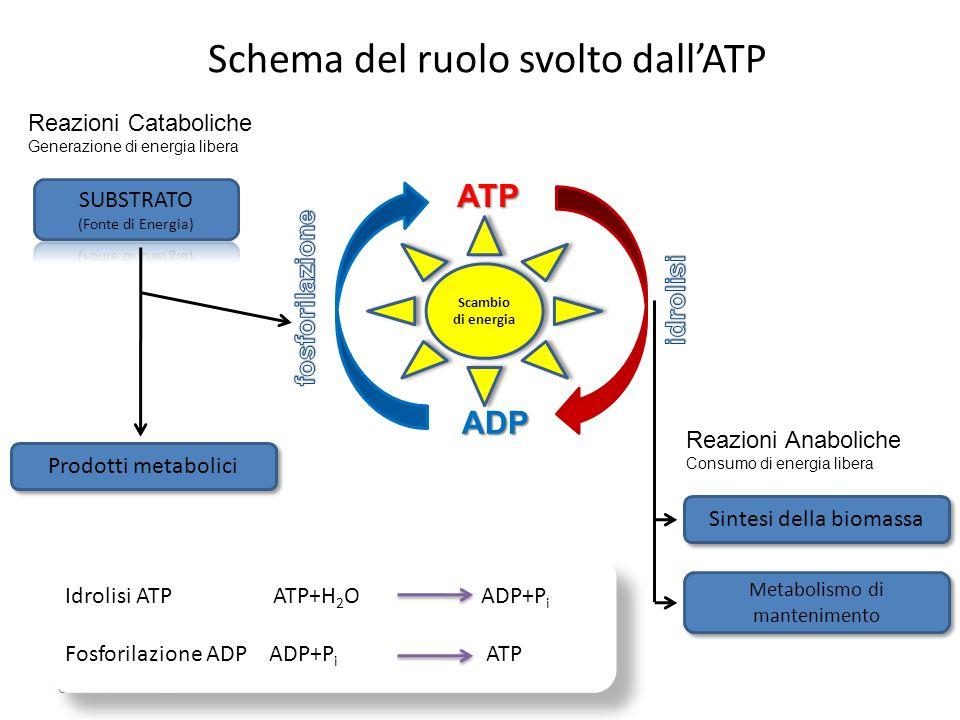 03/09/2014 ATP ADP Reazioni Cataboliche Generazione di energia libera Prodotti metabolici Reazioni Anaboliche Consumo di energia libera Sintesi della