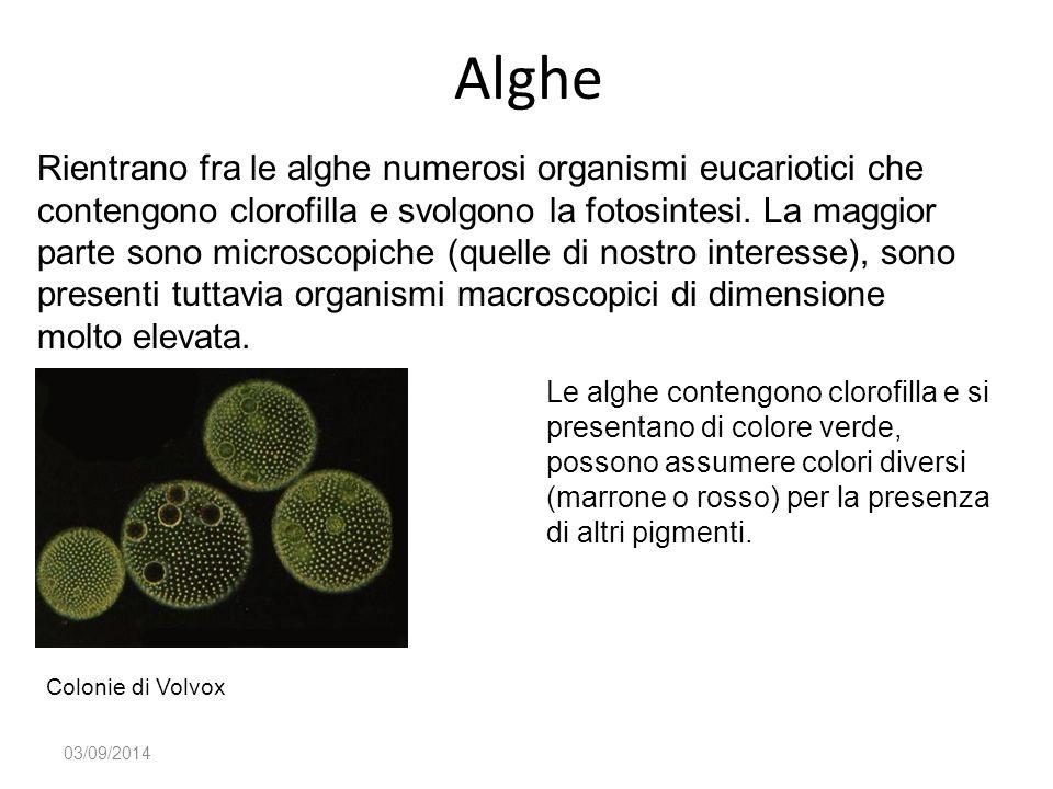 Alghe 03/09/2014 Rientrano fra le alghe numerosi organismi eucariotici che contengono clorofilla e svolgono la fotosintesi. La maggior parte sono micr