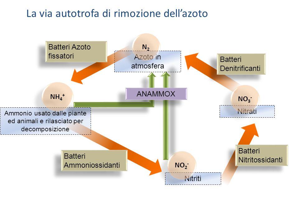 Nitriti Nitrati NO 3 - NO 2 - Ammonio usato dalle piante ed animali e rilasciato per decomposizione NH 4 + Azoto in atmosfera N2N2 N2N2 Batteri Nitrit