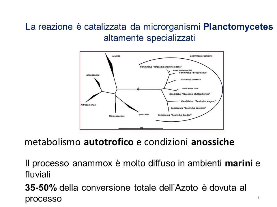 6 La reazione è catalizzata da microrganismi Planctomycetes altamente specializzati Il processo anammox è molto diffuso in ambienti marini e fluviali