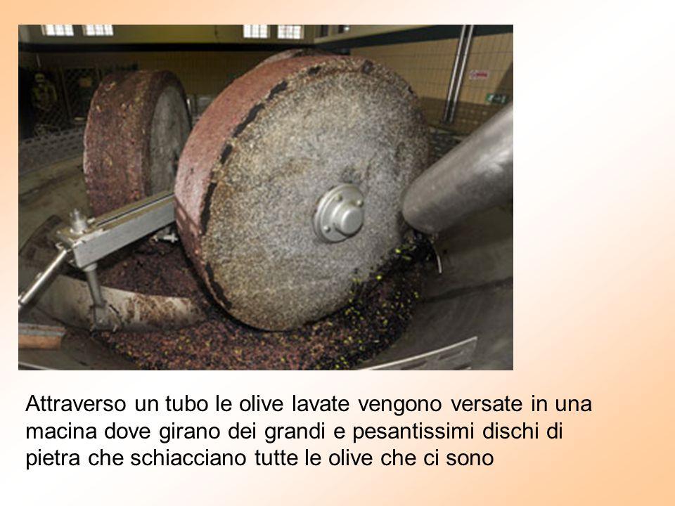 Attraverso un tubo le olive lavate vengono versate in una macina dove girano dei grandi e pesantissimi dischi di pietra che schiacciano tutte le olive