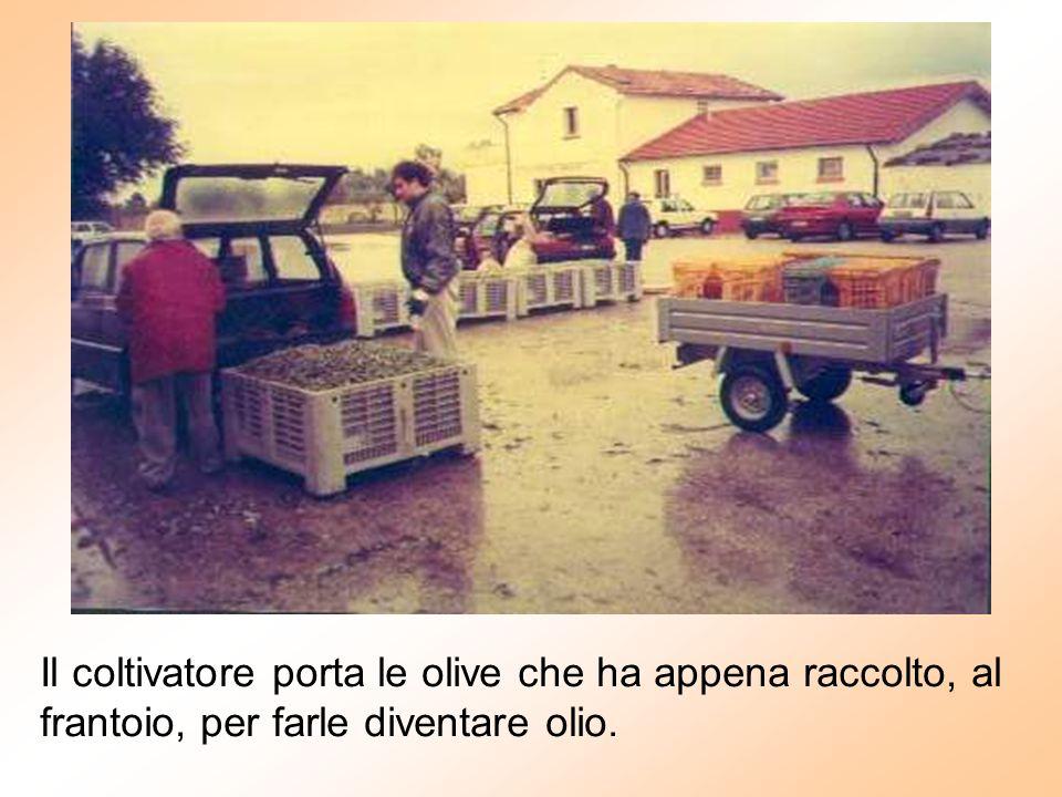 Il coltivatore porta le olive che ha appena raccolto, al frantoio, per farle diventare olio.