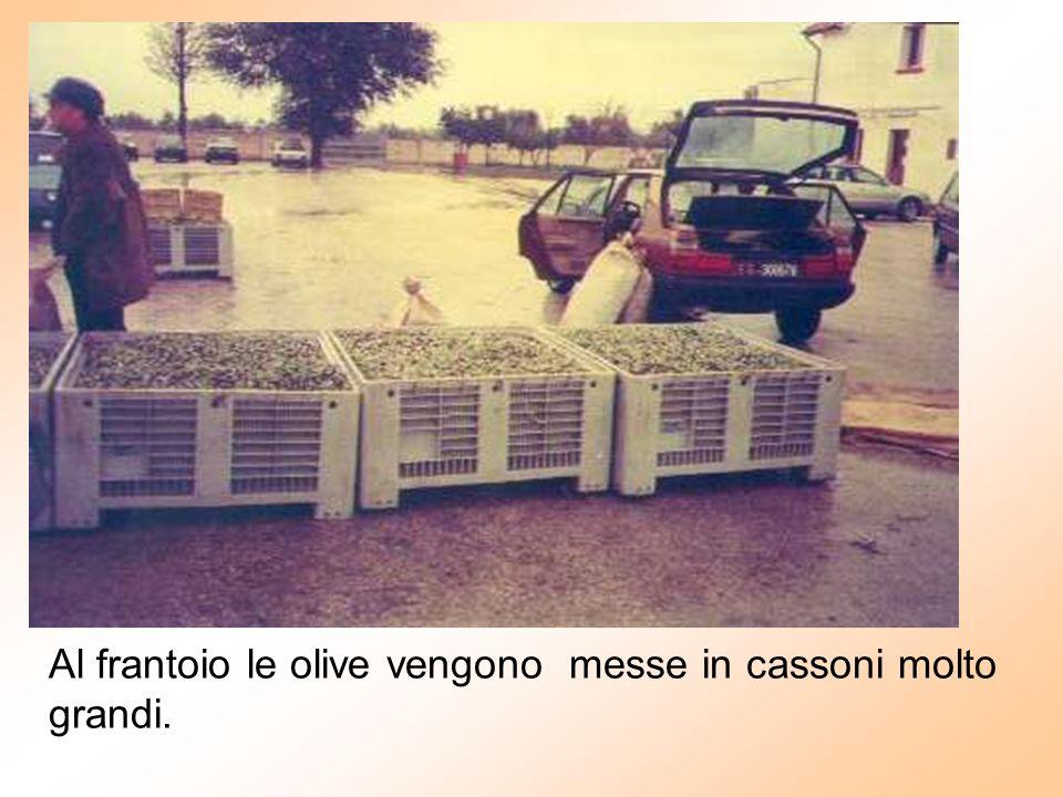 Al frantoio le olive vengono messe in cassoni molto grandi.