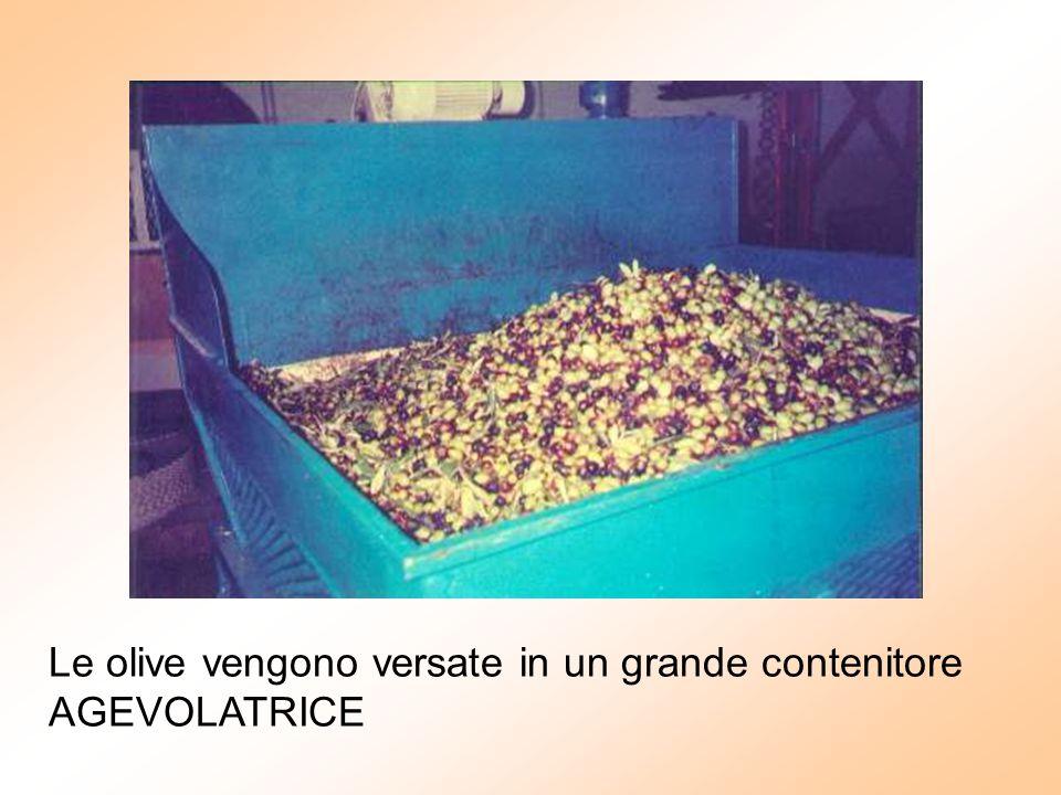 Le olive vengono versate in un grande contenitore AGEVOLATRICE