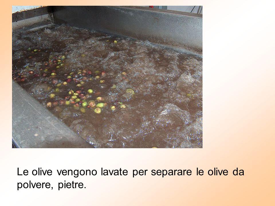 Le olive vengono lavate per separare le olive da polvere, pietre.