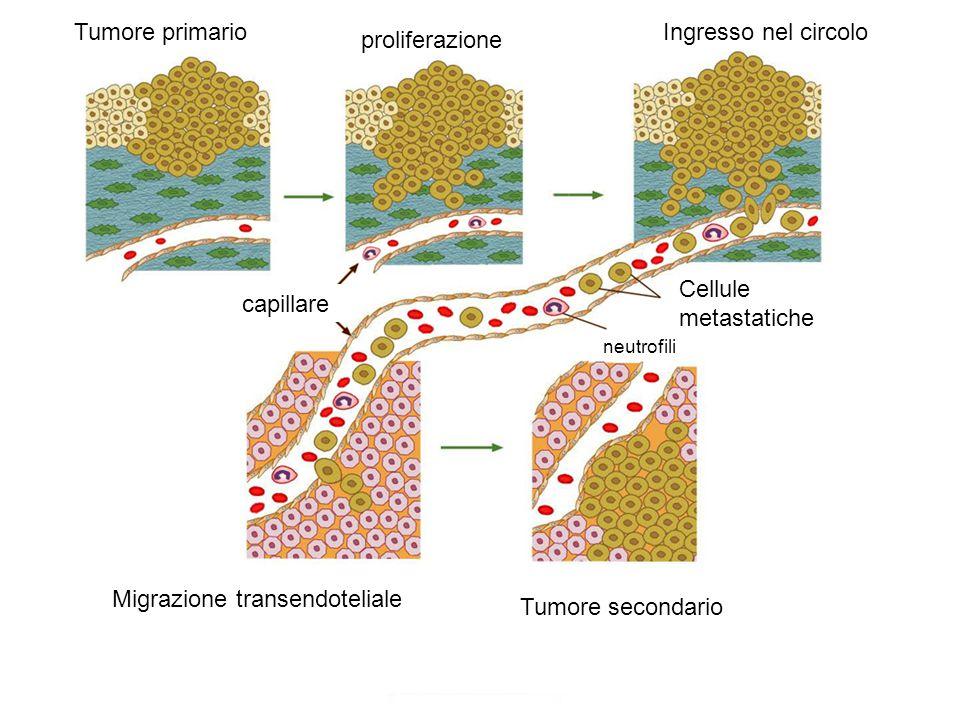 Tumore primario proliferazione Ingresso nel circolo Migrazione transendoteliale Tumore secondario capillare Cellule metastatiche neutrofili