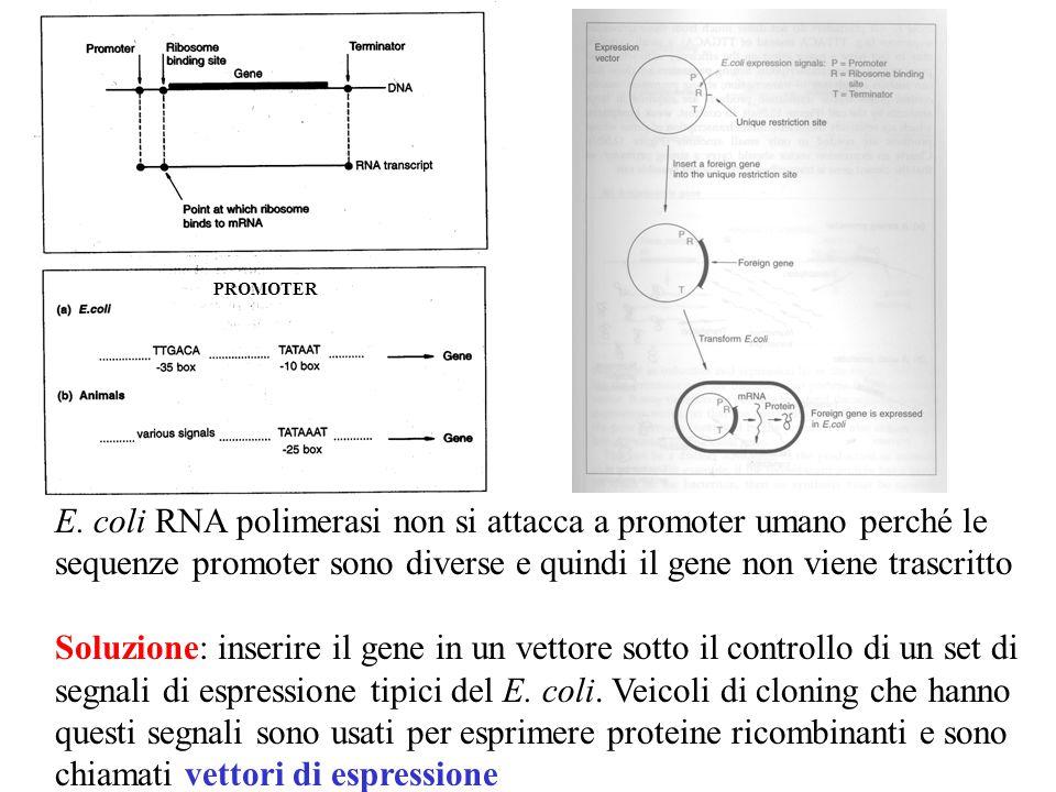 E. coli RNA polimerasi non si attacca a promoter umano perché le sequenze promoter sono diverse e quindi il gene non viene trascritto Soluzione: inser