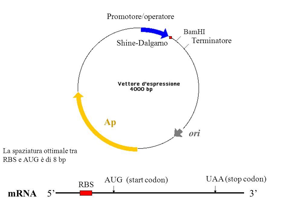 ori Ap BamHI Promotore/operatore Terminatore mRNA5' RBS AUG (start codon) UAA (stop codon) 3' Shine-Dalgarno La spaziatura ottimale tra RBS e AUG è di 8 bp