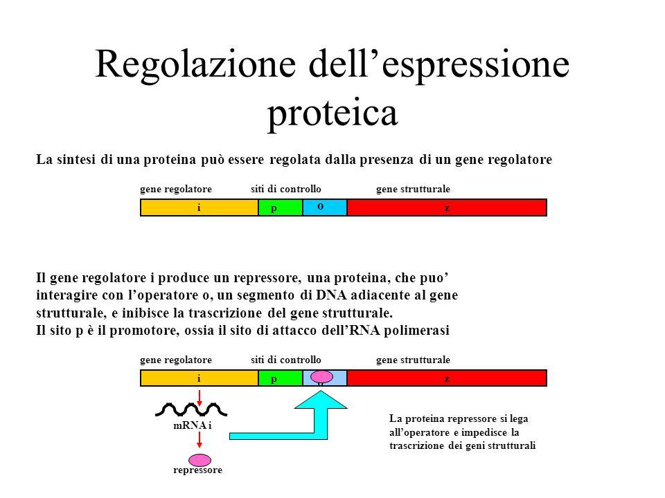 Regolazione dell'espressione proteica La sintesi di una proteina può essere regolata dalla presenza di un gene regolatore zi gene regolatoresiti di controllogene strutturale p o Il gene regolatore i produce un repressore, una proteina, che puo' interagire con l'operatore o, un segmento di DNA adiacente al gene strutturale, e inibisce la trascrizione del gene strutturale.