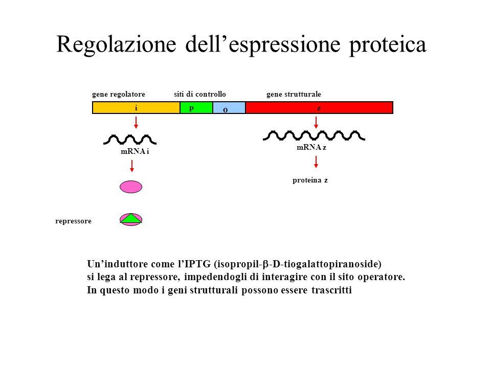 Regolazione dell'espressione proteica mRNA i repressore zi gene regolatoresiti di controllogene strutturale p o proteina z mRNA z Un'induttore come l'IPTG (isopropil-  -D-tiogalattopiranoside) si lega al repressore, impedendogli di interagire con il sito operatore.