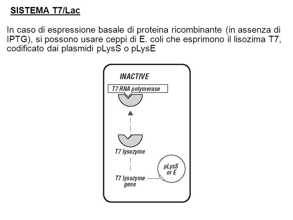 SISTEMA T7/Lac In caso di espressione basale di proteina ricombinante (in assenza di IPTG), si possono usare ceppi di E.