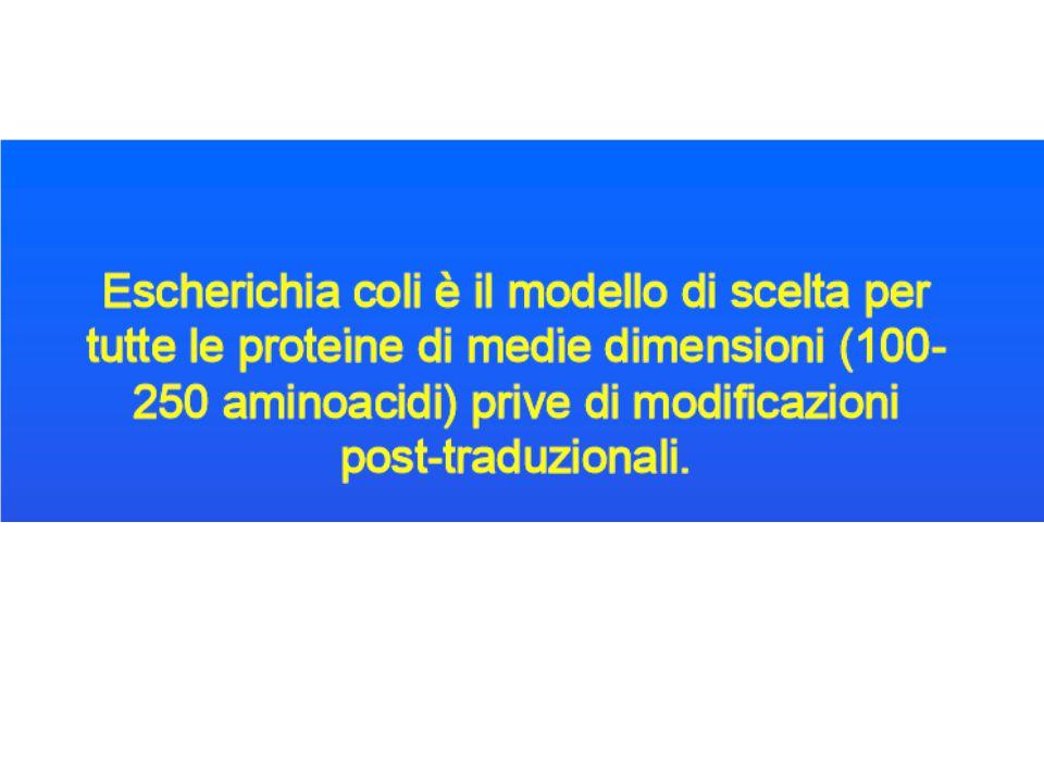 LA SCELTA DEL PROMOTER Il promoter è la componente più importante di un vettore di espressione perché controlla la velocità di espressione del mRNA Strong promoters sono quelli che determinano alta velocità di trascrizione e quindi controllano geni che sono richiesti in larga quantità nella cellula Weak promoters regolano geni necessari in minore quantità all'interno della cellula e quindi non sono usati nei vettori di espressione UN PROMOTORE PROCARIOTICO TIPICO E' COSTITUITO DA CIRCA 60 bp CONTENENTI DUE SEQUENZE CONSENSO A -35 (ttgaga) e -10 (tataat).