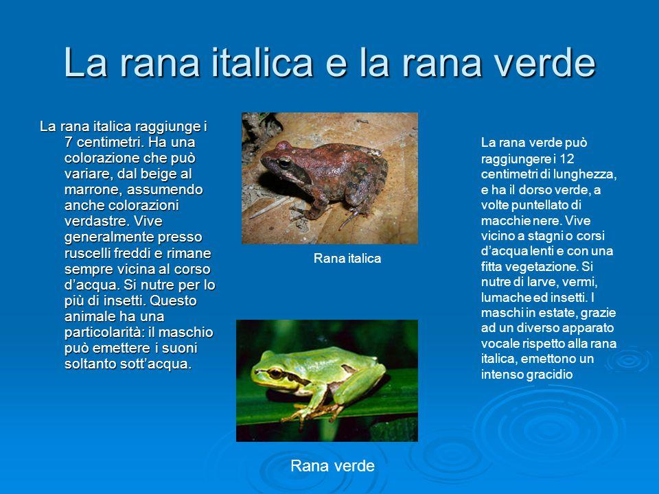 La rana italica e la rana verde La rana italica raggiunge i 7 centimetri. Ha una colorazione che può variare, dal beige al marrone, assumendo anche co