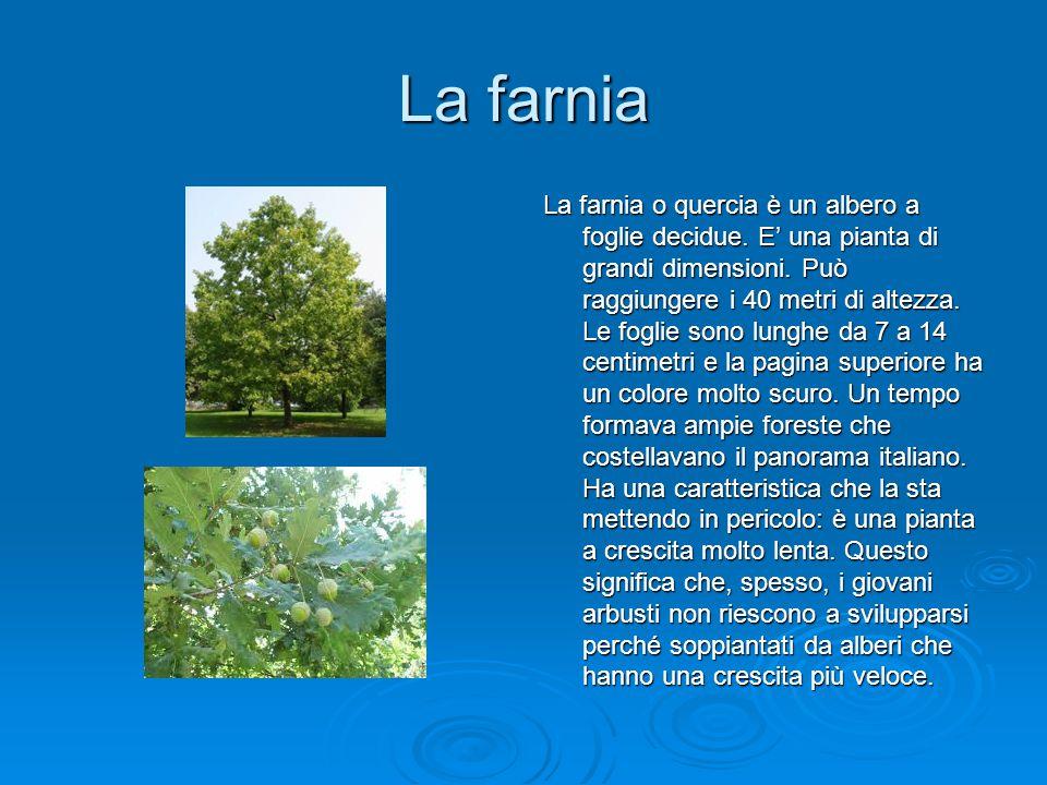 La farnia La farnia o quercia è un albero a foglie decidue. E' una pianta di grandi dimensioni. Può raggiungere i 40 metri di altezza. Le foglie sono