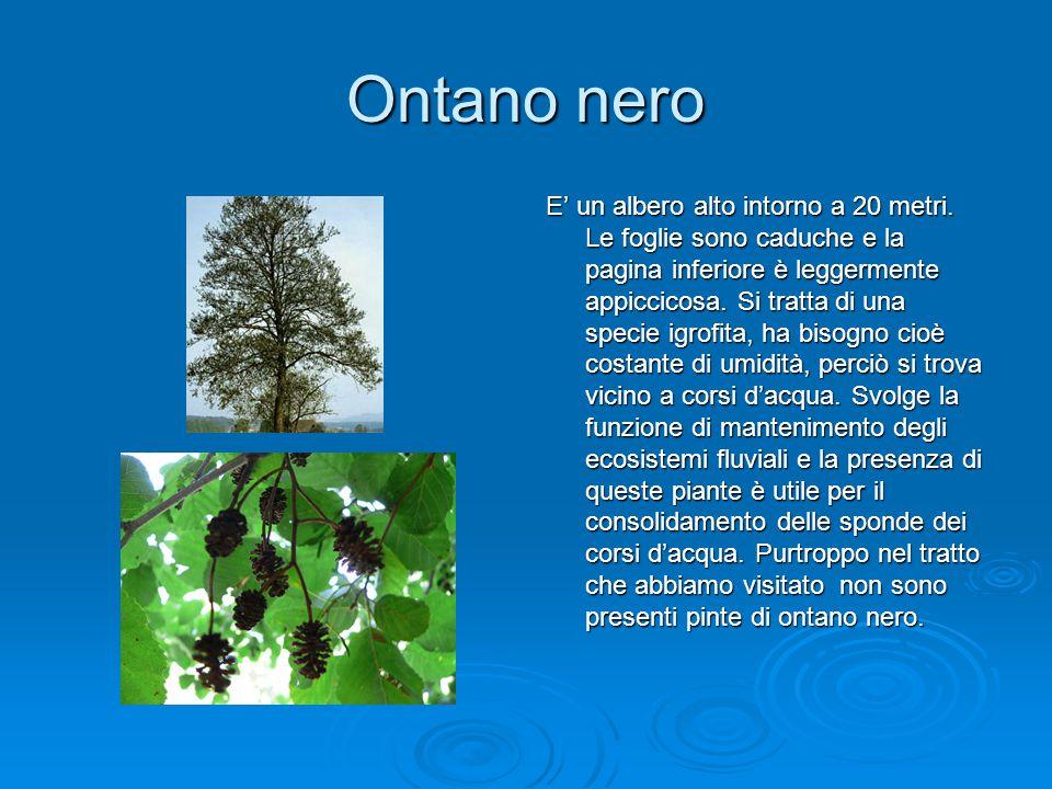 Ontano nero E' un albero alto intorno a 20 metri. Le foglie sono caduche e la pagina inferiore è leggermente appiccicosa. Si tratta di una specie igro