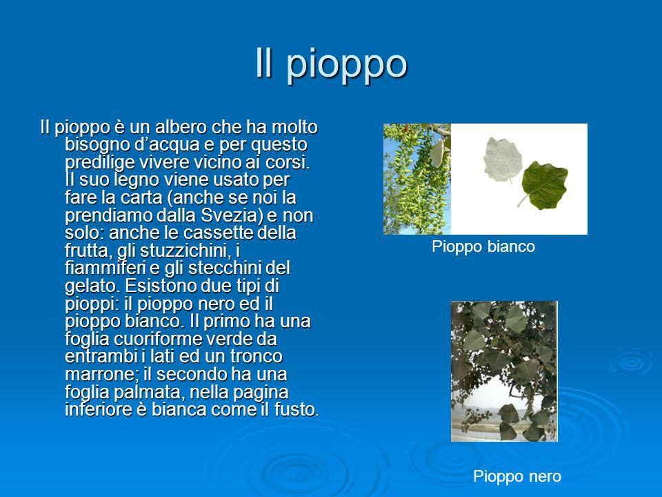 Il pioppo Il pioppo è un albero che ha molto bisogno d'acqua e per questo predilige vivere vicino ai corsi. Il suo legno viene usato per fare la carta