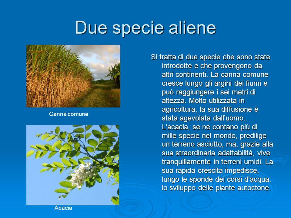 Due specie aliene Si tratta di due specie che sono state introdotte e che provengono da altri continenti. La canna comune cresce lungo gli argini dei