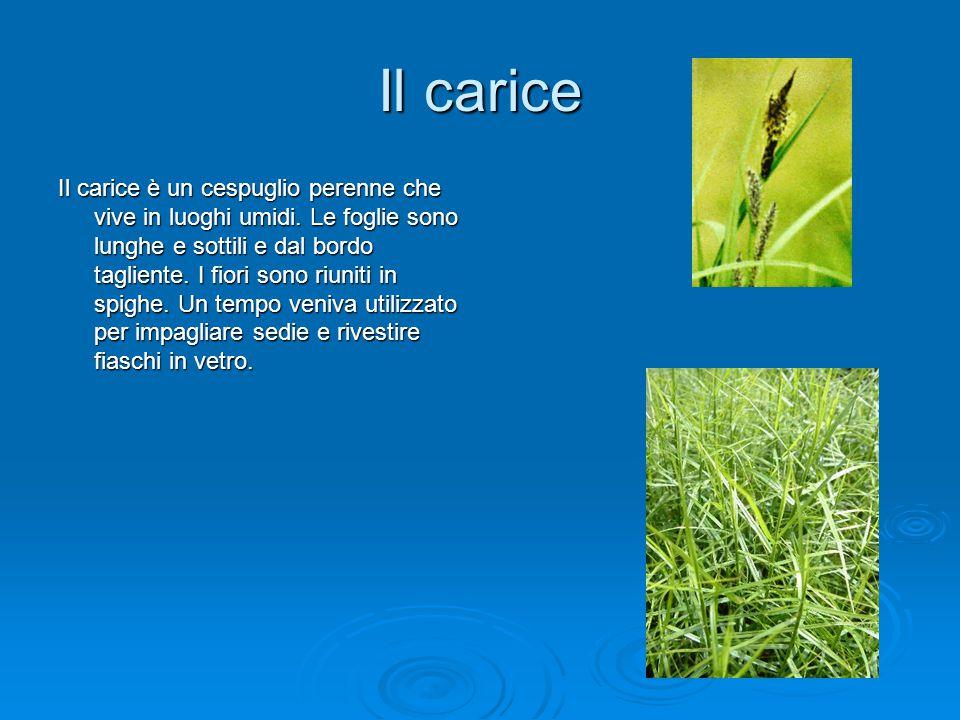 Il carice Il carice è un cespuglio perenne che vive in luoghi umidi. Le foglie sono lunghe e sottili e dal bordo tagliente. I fiori sono riuniti in sp