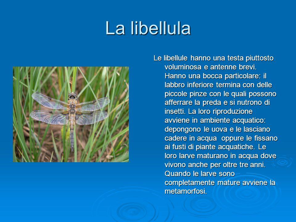 La libellula Le libellule hanno una testa piuttosto voluminosa e antenne brevi. Hanno una bocca particolare: il labbro inferiore termina con delle pic