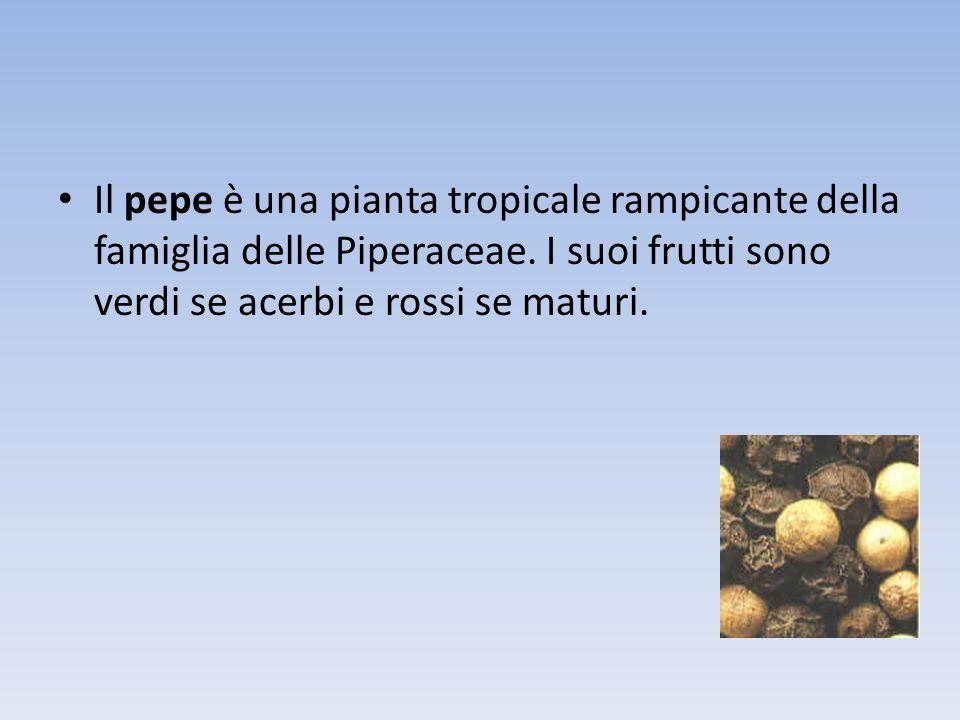 Il pepe è una pianta tropicale rampicante della famiglia delle Piperaceae.