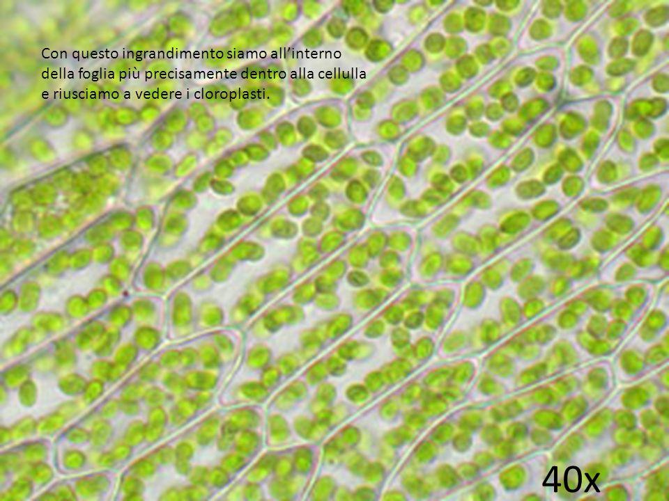 40x Con questo ingrandimento siamo all'interno della foglia più precisamente dentro alla cellulla e riusciamo a vedere i cloroplasti.