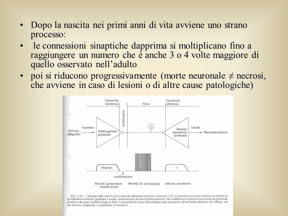 Rosa Angela Fabio - lezioni Dopo la nascita nei primi anni di vita avviene uno strano processo: le connessioni sinaptiche dapprima si moltiplicano fin