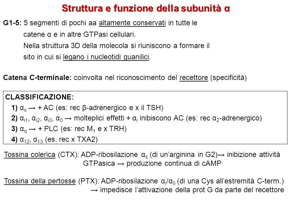 Struttura e funzione della subunità α G1-5: 5 segmenti di pochi aa altamente conservati in tutte le catene α e in altre GTPasi cellulari. Nella strutt