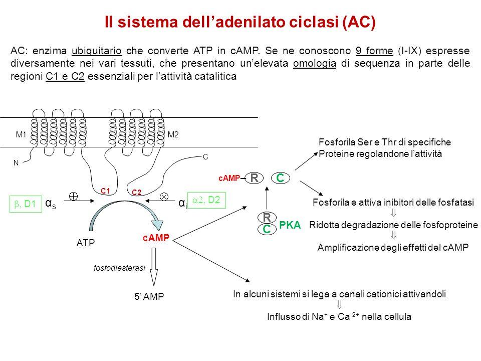 Il sistema dell'adenilato ciclasi (AC) AC: enzima ubiquitario che converte ATP in cAMP. Se ne conoscono 9 forme (I-IX) espresse diversamente nei vari