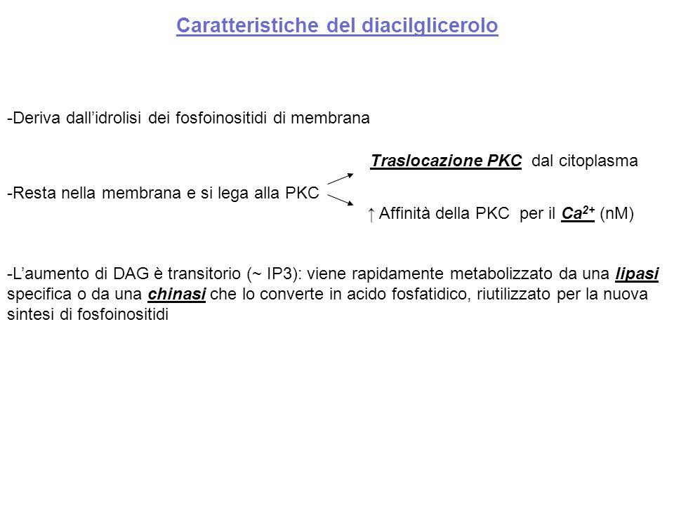 Caratteristiche del diacilglicerolo -Deriva dall'idrolisi dei fosfoinositidi di membrana -Resta nella membrana e si lega alla PKC -L'aumento di DAG è transitorio (~ IP3): viene rapidamente metabolizzato da una lipasi specifica o da una chinasi che lo converte in acido fosfatidico, riutilizzato per la nuova sintesi di fosfoinositidi Traslocazione PKC dal citoplasma ↑ Affinità della PKC per il Ca 2+ (nM)