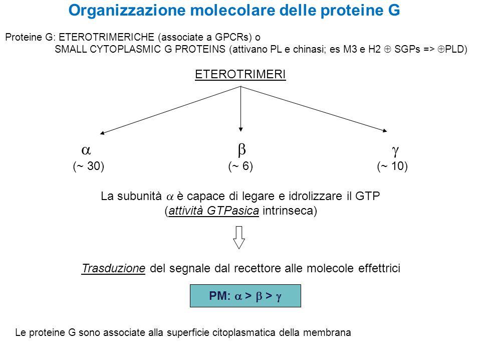 Organizzazione molecolare delle proteine G ETEROTRIMERI    (~ 30) (~ 6) (~ 10) La subunità  è capace di legare e idrolizzare il GTP (attività GTPasica intrinseca) Trasduzione del segnale dal recettore alle molecole effettrici PM:  >  >  Le proteine G sono associate alla superficie citoplasmatica della membrana Proteine G: ETEROTRIMERICHE (associate a GPCRs) o SMALL CYTOPLASMIC G PROTEINS (attivano PL e chinasi; es M3 e H2  SGPs =>  PLD)