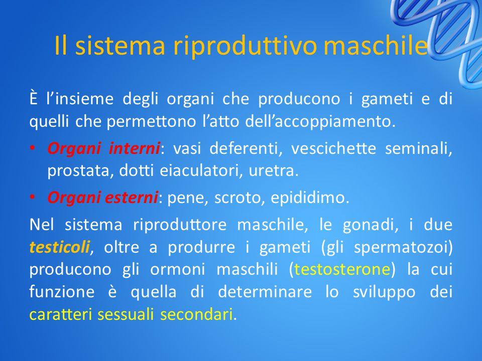 Il sistema riproduttivo maschile È l'insieme degli organi che producono i gameti e di quelli che permettono l'atto dell'accoppiamento. Organi interni: