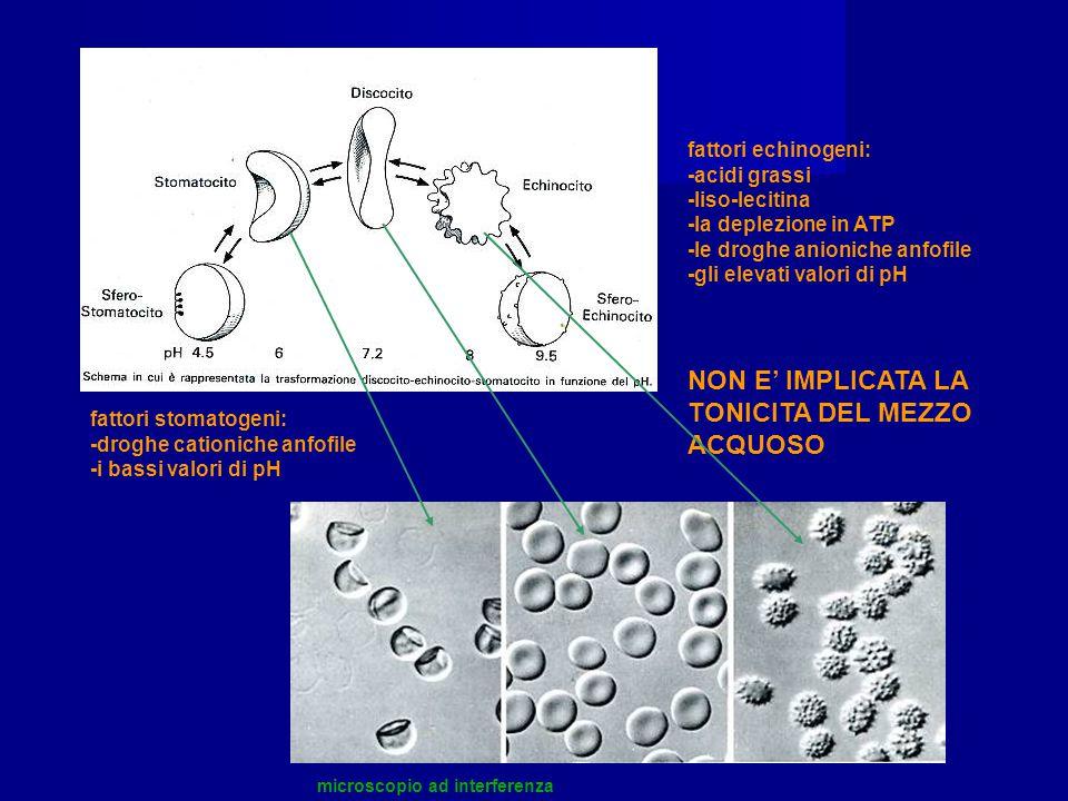fattori echinogeni: -acidi grassi -liso-lecitina -la deplezione in ATP -le droghe anioniche anfofile -gli elevati valori di pH fattori stomatogeni: -d