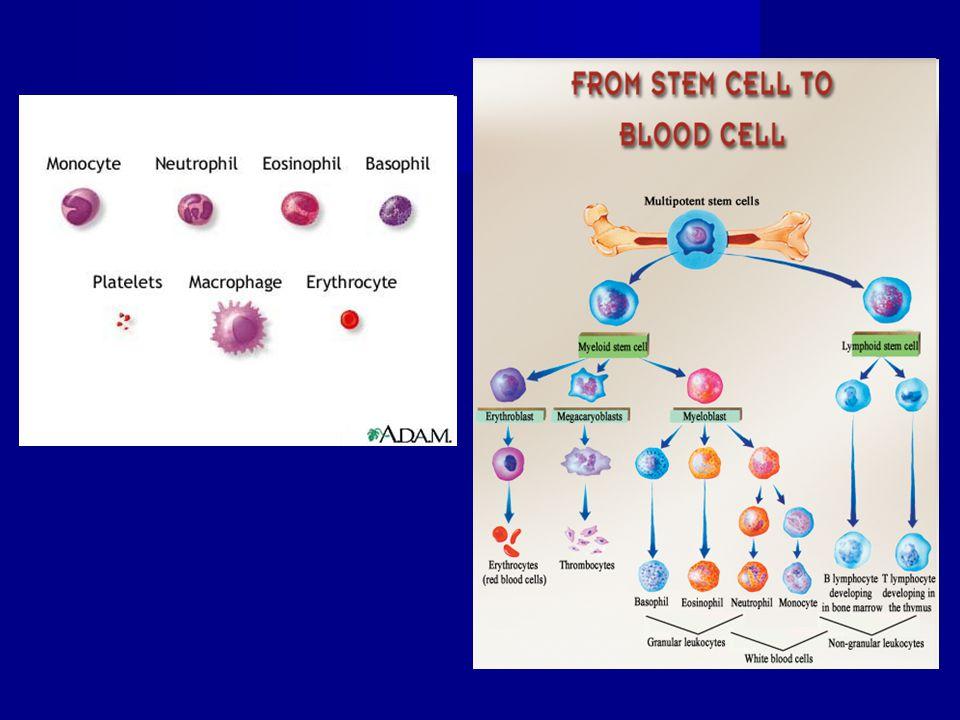 Eritrociti Proeritroblasto Eritroblasto basofilo di tipo I e II Eritroblasto policromatofilo di tipo I e II Sideroblasto (siderocito) Reticolocita Proeritroblasto ø 22-28  m Policrom.
