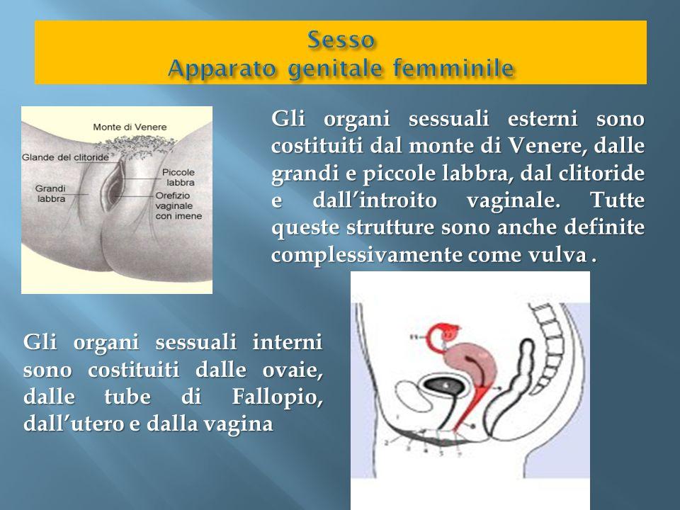 Gli organi sessuali esterni sono costituiti dal monte di Venere, dalle grandi e piccole labbra, dal clitoride e dall'introito vaginale. Tutte queste s
