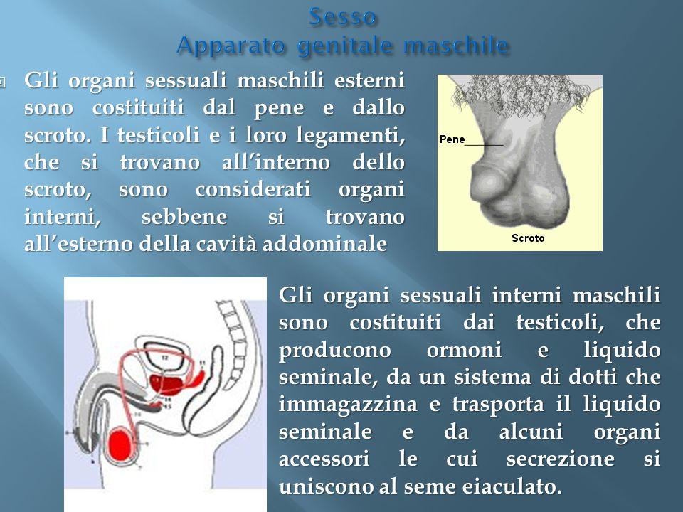 Gli organi sessuali maschili esterni sono costituiti dal pene e dallo scroto. I testicoli e i loro legamenti, che si trovano all'interno dello scrot