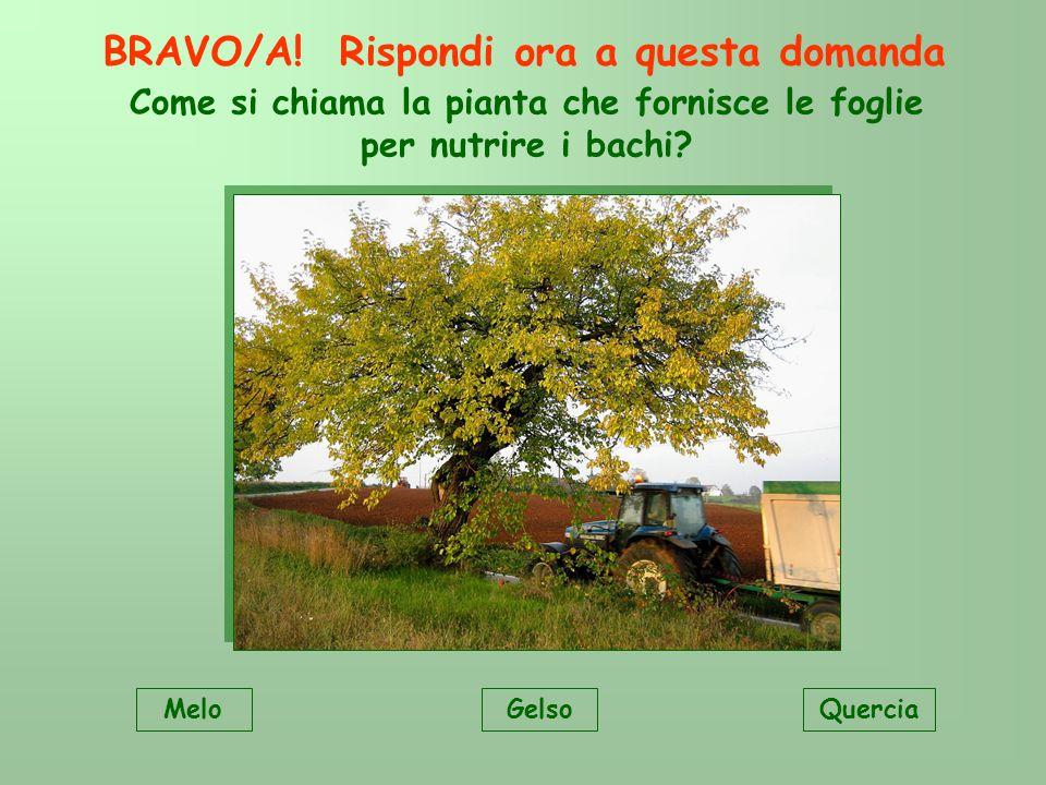 Come si chiama la pianta che fornisce le foglie per nutrire i bachi.