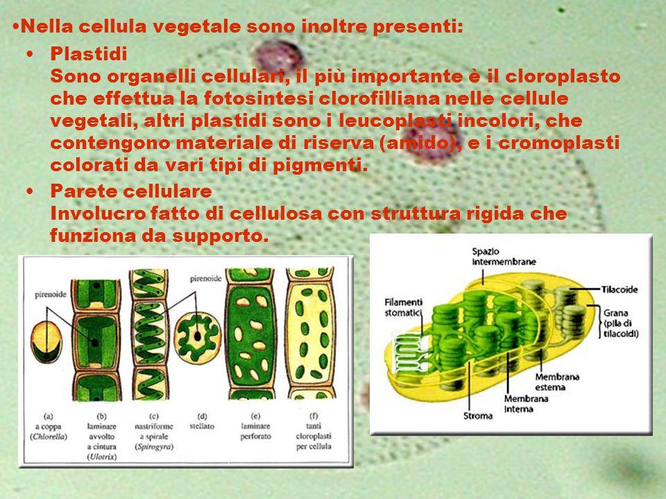Nella cellula vegetale sono inoltre presenti: Plastidi Sono organelli cellulari, il più importante è il cloroplasto che effettua la fotosintesi clorof