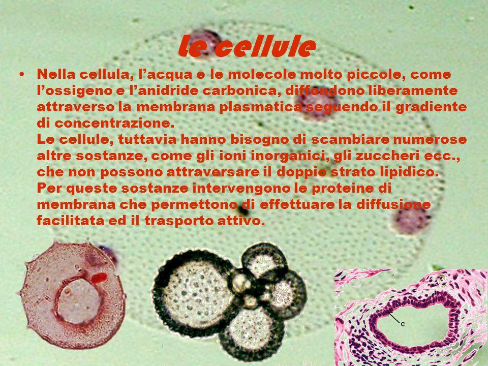 Le cellule Nella cellula, l'acqua e le molecole molto piccole, come l'ossigeno e l'anidride carbonica, diffondono liberamente attraverso la membrana p