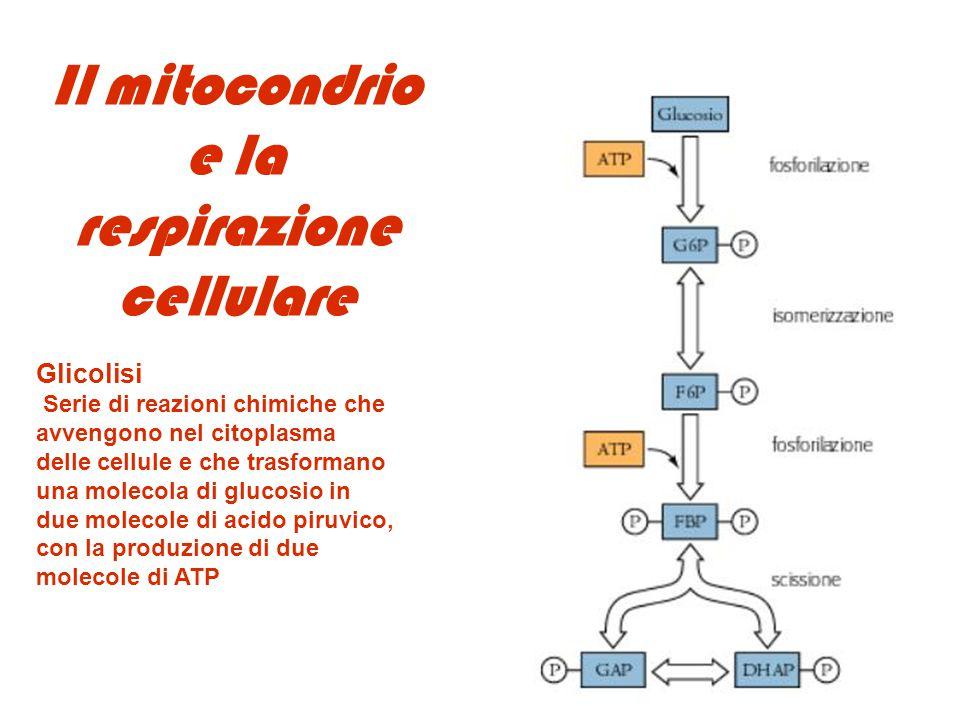 Il mitocondrio e la respirazione cellulare Glicolisi Serie di reazioni chimiche che avvengono nel citoplasma delle cellule e che trasformano una molec